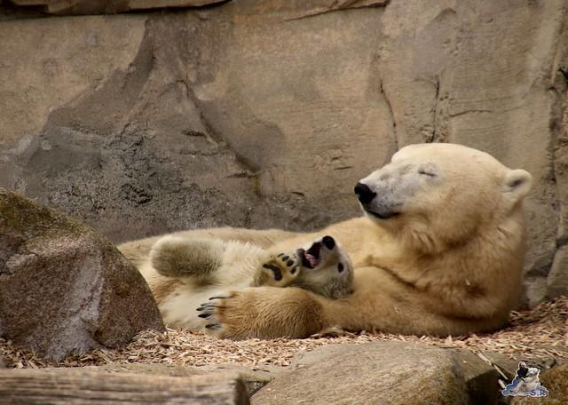 Eisbär Lili im Zoo am Meer Bremerhaven 09.04.2016 Teil 2  0193