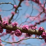 Vivid Pink blossom in the Park
