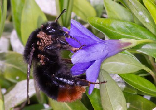 Bee_Mites
