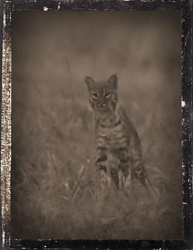 Bobcat1 Daguerrotype 20160103