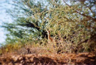 Impala im Aba-Huab Gebiet, Damarland