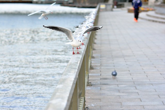 black-headed gull_03