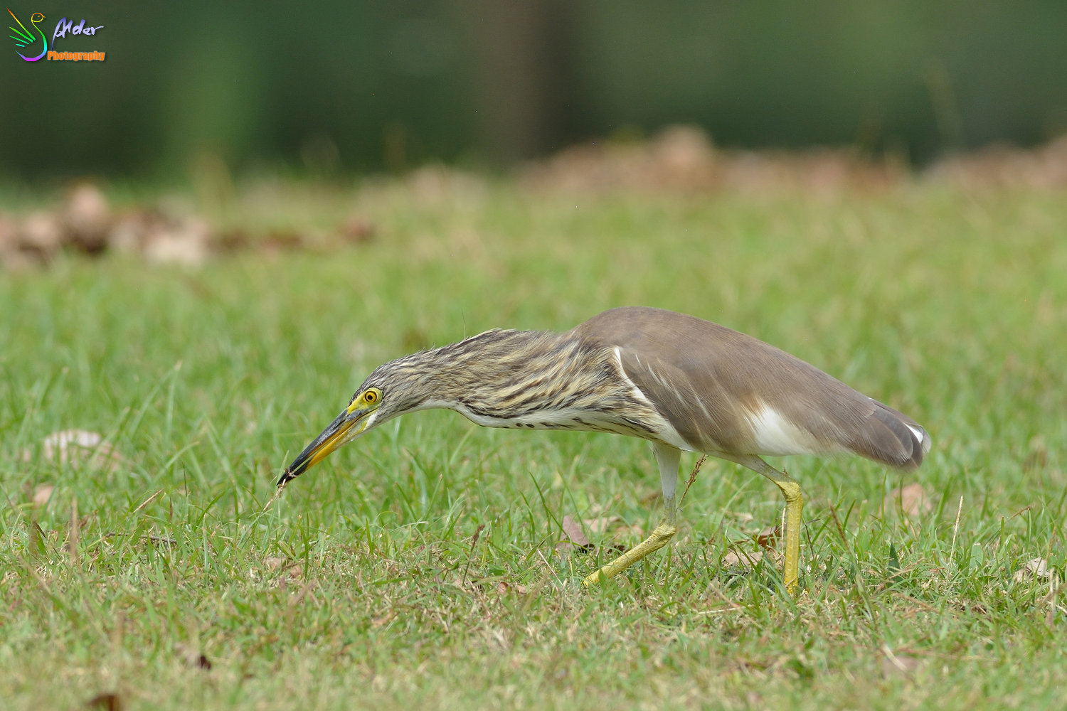 Chinese_Pond_Heron_1374