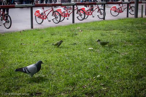 Parakeets and Pigeons