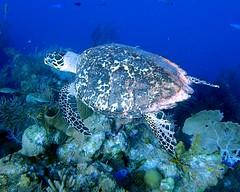 Hawksbill Sea Turtle 29 - Blackbird Caye - Belize 2016