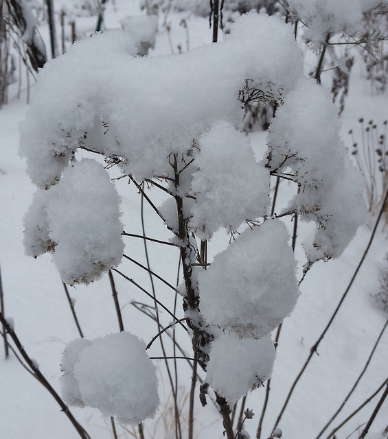 joe-pye weed covered in snow