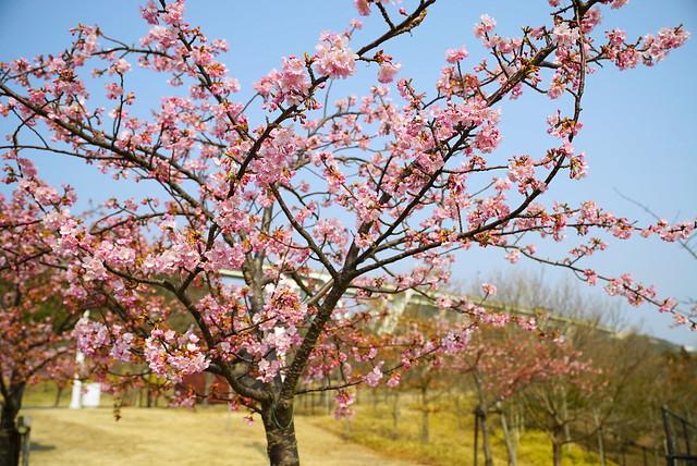 明石海峡公園の河津桜 / Sakura