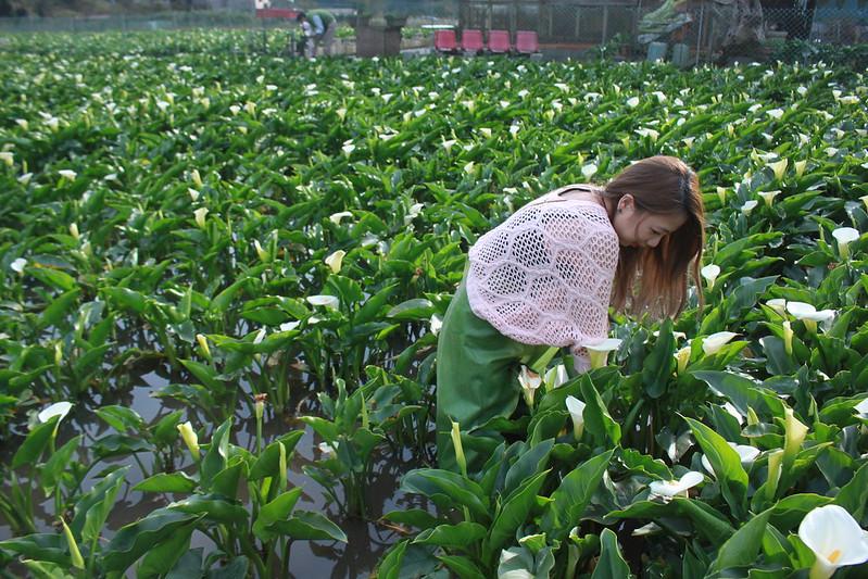 竹子湖採海芋-17度C隨拍 (49)