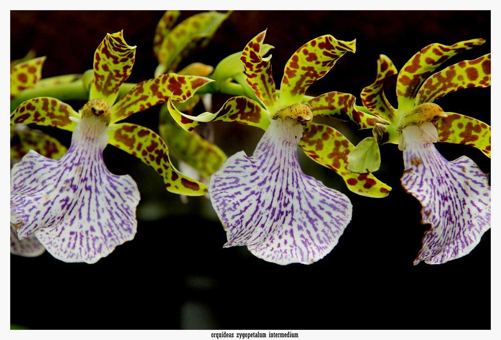 orquídeas zygopetalum intermedium