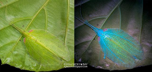 Katydid (Tettigoniidae) - Tettigoniidae_DSC_1572