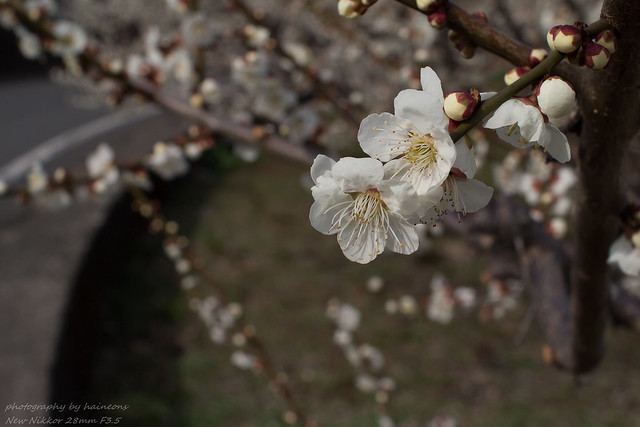 Mar/10 prunus mume
