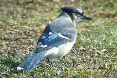 Vireos/ Jays & Crows