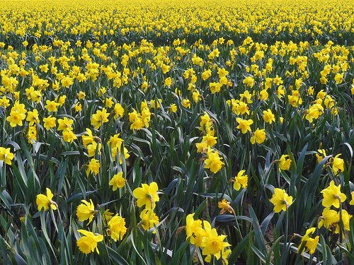 Daffodils in the fields of La Conner in Washington state, USA