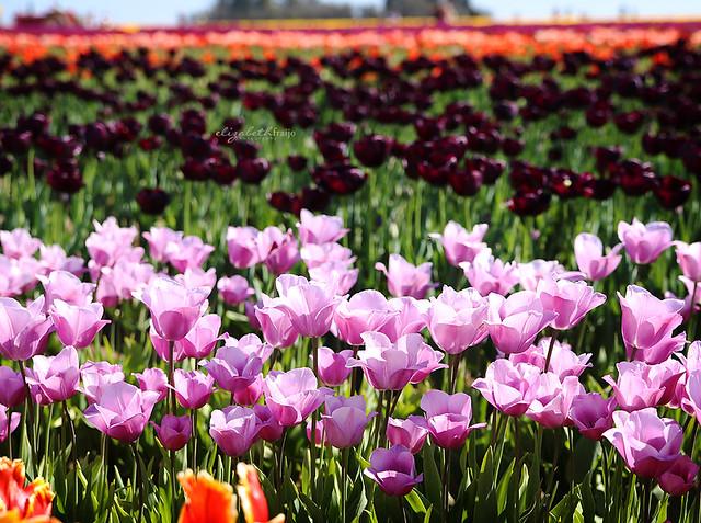Tulips05W