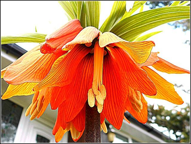 Fritillaria Imperialis ,,,