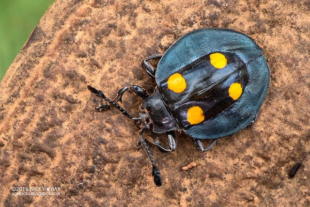 Handsome fungus beetle (Eumorphus marginatus) - DSC_9995