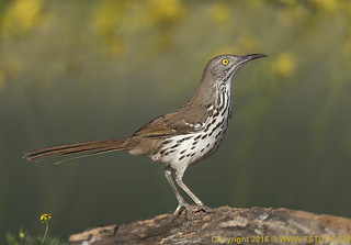 Long-billed thrasher (Toxostoma longirostre) | by For more WWW.FSTOP.COM