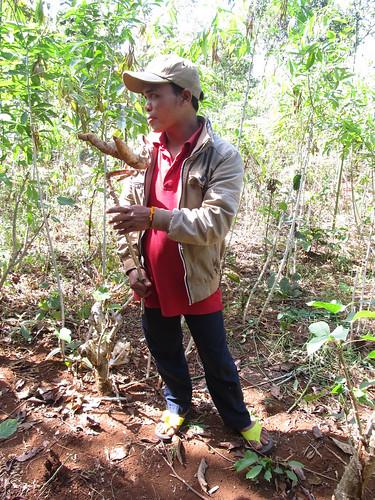 Plateau des Bolovens: du manioc