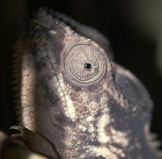 Chameleon - Mauritius
