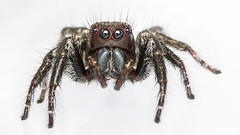 Double striped Carrhotus (Jumping spider)