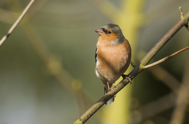Chaffinch, The Lodge RSPB, 7th February 2016