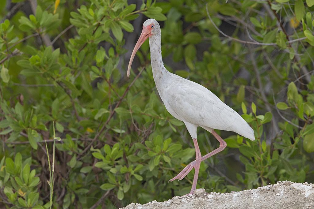 White Ibis   Cuba