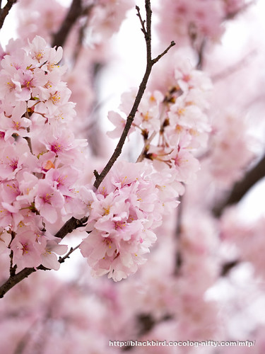 Cherry blossoms #03