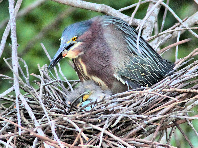 Green Heron 17-5 with hatchlings HDR 05-20160413
