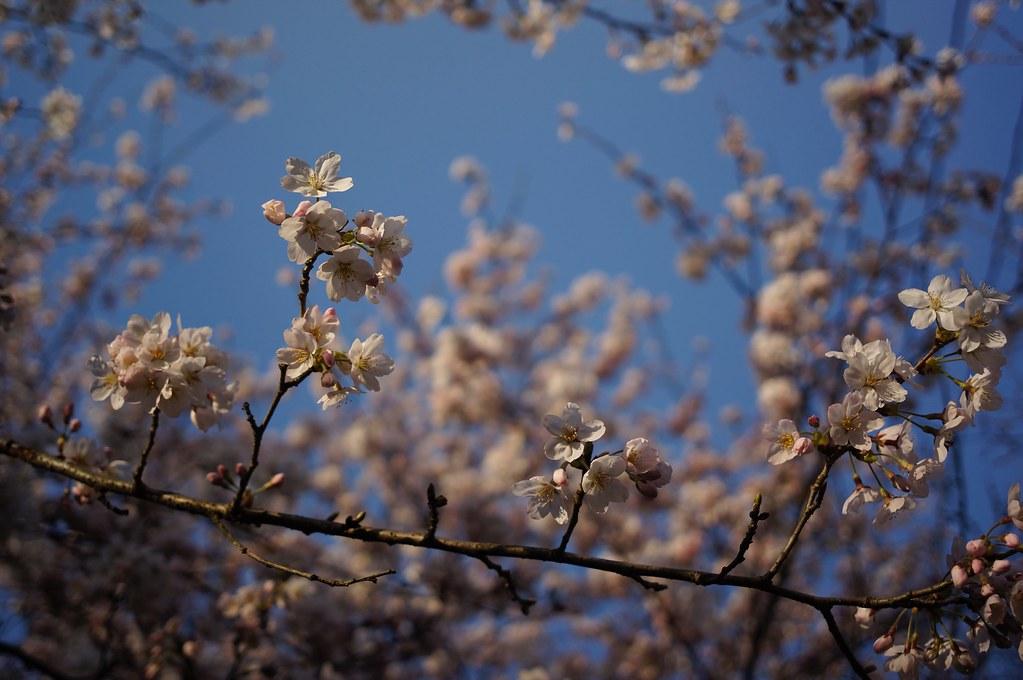 Cherry Blossoms x CONTAX Biogon 28mm F2.8