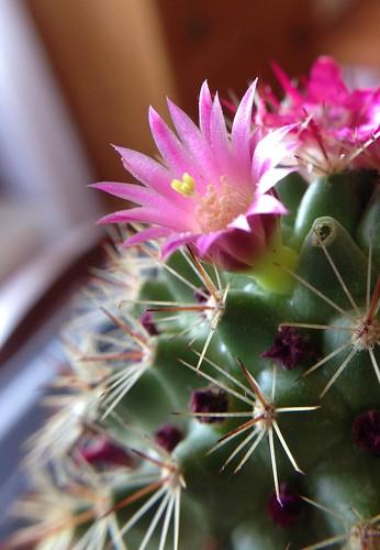 Pink flowering cactus