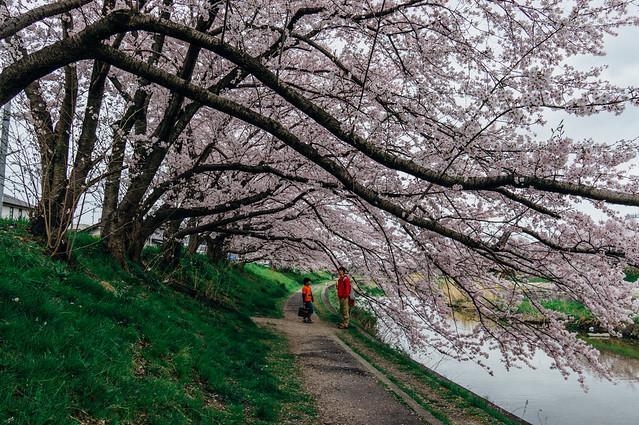 CherryBlossoms_203