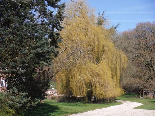Willow Tree, Rushden Farm