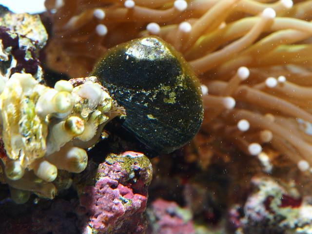 P4173088 食藻螺 鈕扣