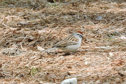 Chipping Sparrow #83