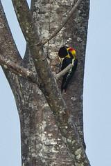 Golden-naped Woodpecker - Rio Tigre - Costa Rica_S4E9886