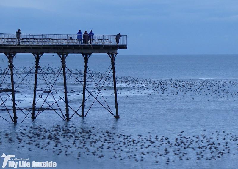 P1000172 - Starlings, Aberystwyth