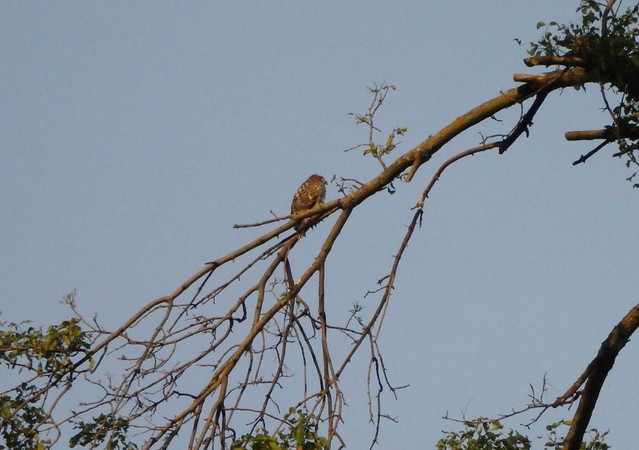 large mostly brown bird facing away, on a thin branch