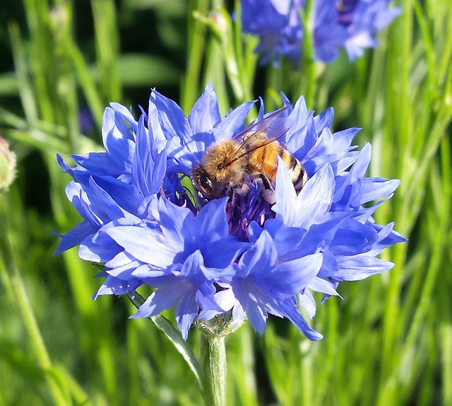 honeybee in the center of a blue flower