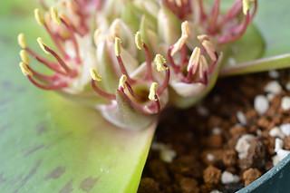 DSC_2380 Massonia latifolia マッソニア ラティフォリア