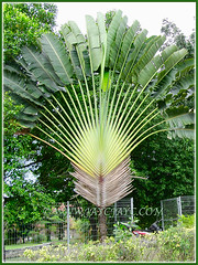Impressive Ravenala madagascariensis (Traveller's Palm, Traveller's Tree), Dec 28 2013
