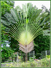 Ravenala madagascariensis (Traveller's Palm, Traveller's Tree)