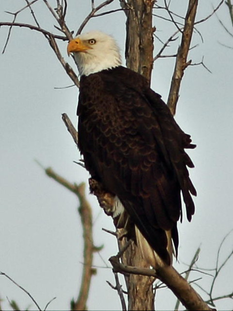 Bald Eagle adult male 3-20160129