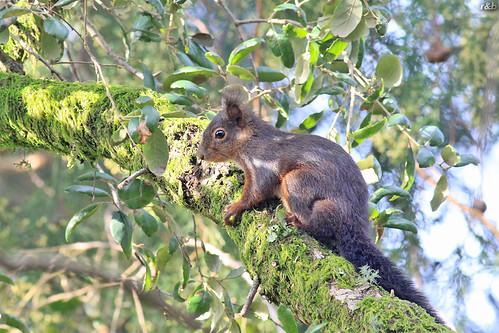 Esquilo-vermelho (Sciurus vulgaris)