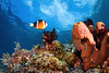 The realm of an Alorese Clownfish