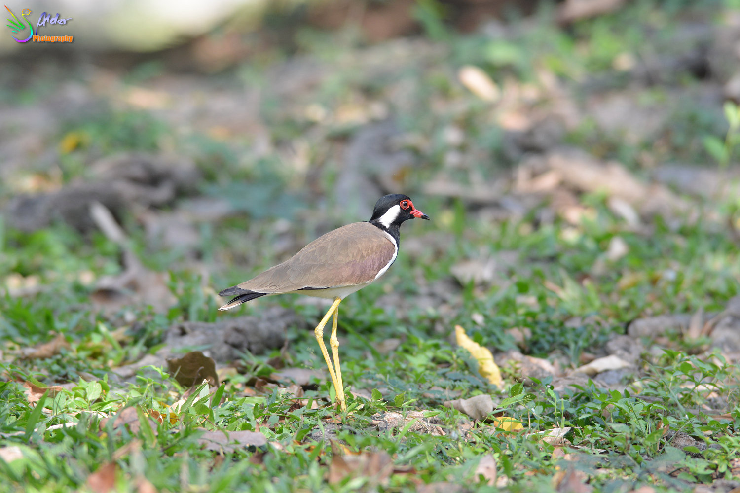 Red-wattled_Lapwing_0268_IJFR