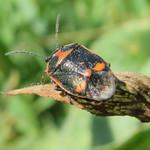 paréjpoloska - Eurydema oleracea