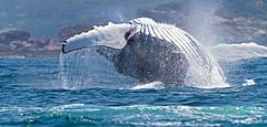 Humpbackwhale111023_8653