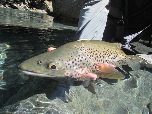 brown trout release at Cedar Lodge New Zealand
