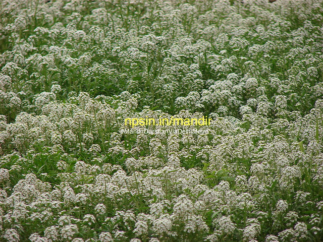 The group of white color flowers are seen to be most beautiful sean of this winter season. It was so beautiful that page allowed as background image.