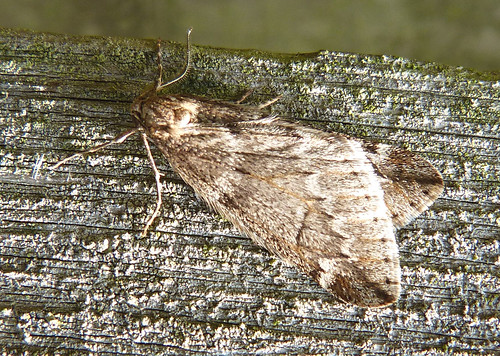 March Moth Alsophila aescularia Tophill Low NR, East Yorkshire March 2016